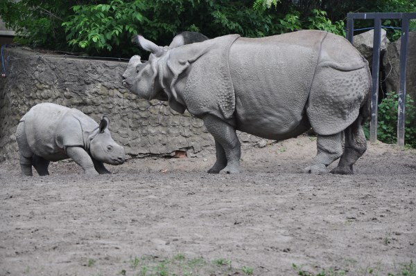 Byś - nosorożec, który urodził się w warszawskim zoo